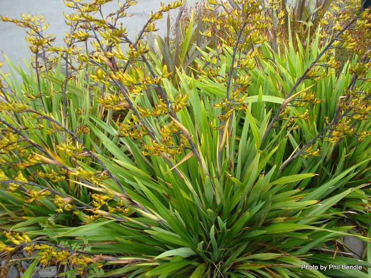 T.E.R:R.A.I.N - Taranaki Educational Resource: Research, Analysis and Information Network - Phormium cookianum subsp hookeri (Coastal Flax)