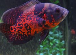Oscar Fish Wholesaler & Wholesale Dealers in India