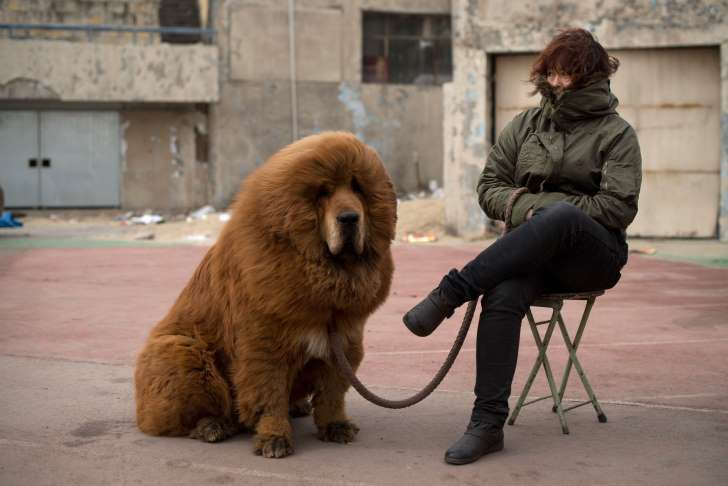 A Tibetan mastiff dog is displayed for sale at a mastiff show in Baoding, Hebei province, south of Beijing on March 9, 2013. Fetching prices up to around 750,000 USD, mastiffs have become a prized status-symbol amongst China's wealthy, with rich buyers across the country sending prices skyrocketing. Owners say the mastiffs, descendents of dogs used for hunting by nomadic tribes in central Asia and Tibet are fiercely loyal and protective. Breeders still travel to the Himalayan plateau to…