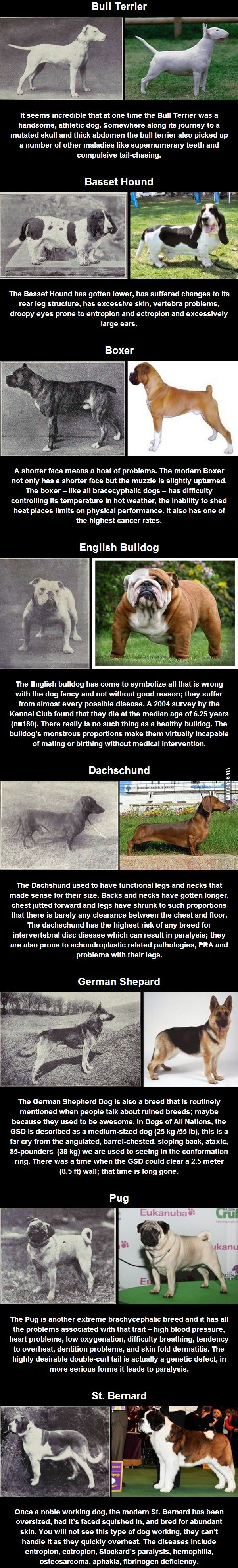 100 years of selective breeding-sad and i believe very true that we breed dogs to be what we want when they were perfectly fine and healthier the way they were