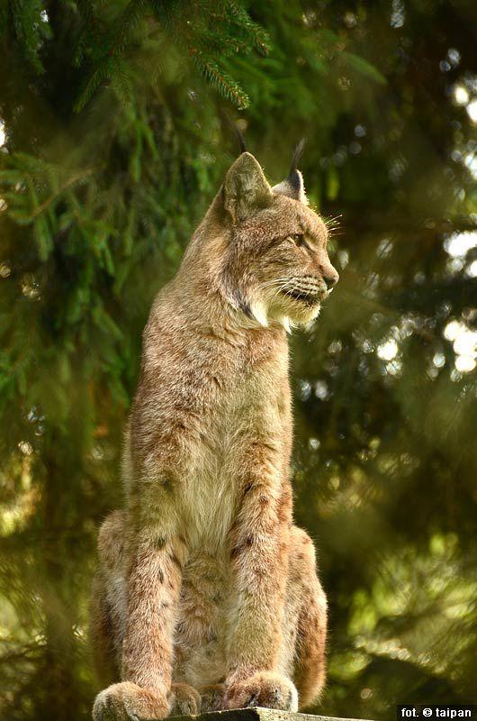 polish wild cat - RYŚ