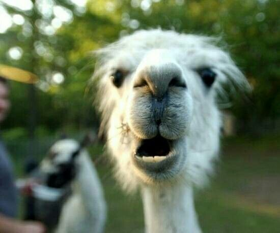 Bad Inspiration Crazy Llama Face! | Favorite Chives | Llama Pictures