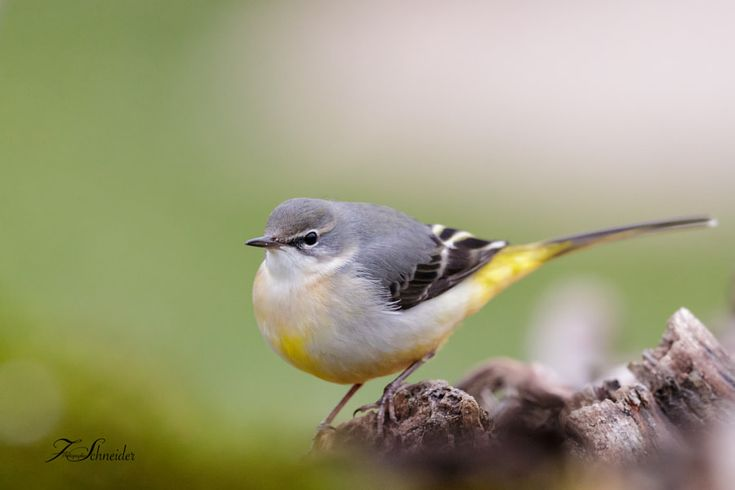 Grey Wagtail by François Schneider - Photo 238984311 / 500px