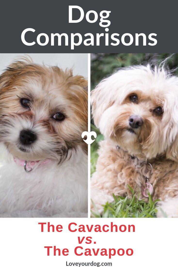 Cavachon Vs Cavapoo Breed Differences And Similarities Cavachon Cavachon Dog Cavachon Puppies