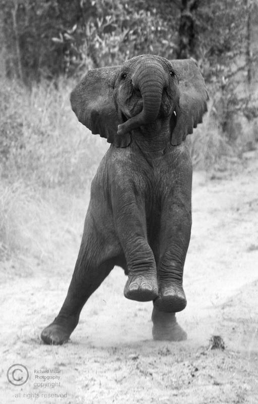 Adorable baby elephant showing off to the vehicle.. - Richard Millar Photography