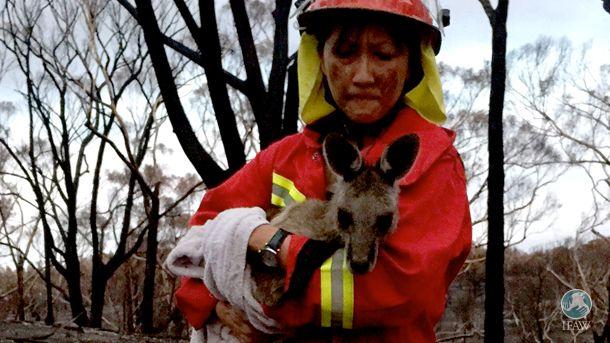 Ons team hielp de dieren na de bosbranden in Australië. Veel koala's en kangoeroes waren gewond en hadden dringend hulp nodig. We hebben ze niet allemaal kunnen redden, maar gelukkig wel veel!