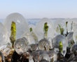 Reed sprouts are covered with thick ice at lake Zwischenahner Meer ind Bad Zwischenahn, northern Germany,