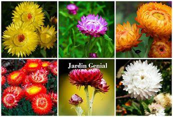 Бессмертник - солнечные  блики в пасмурный день!   Выращивается как сухоцвет,  высота 45—90 см. Листья  ланцетовидные. Цветки  махровые, белые, бронзово- желтые, темно-оранжевые,  лососевые, розовые, темно- фиолетовые и других оттенков,  собраны в соцветия диаметром 6—8 см, имеют длинный цветонос.  В культуре наиболее распространены  следующие бессмертники: акроклиниум,  аммобиум, гелихризум, роданте.   Растение неприхотливое и  простое в культуре.