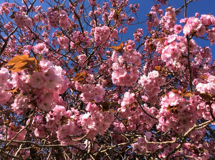 Pink cherry blossom against the deep blue sky of welcome hot days in Ullapool early May 2016