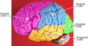 Learn the Basic Structures of Brain Anatomy: The Four Lobes