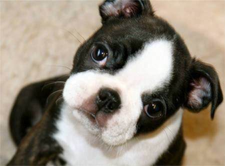 Boston Terrier Pup#Repin By:Pinterest++ for iPad#