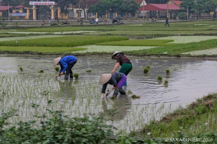 VN_160131 Vietnam_0199 Riisinviljelyä Quang Ninhin provinssissa Pohjois-Vietnamissa