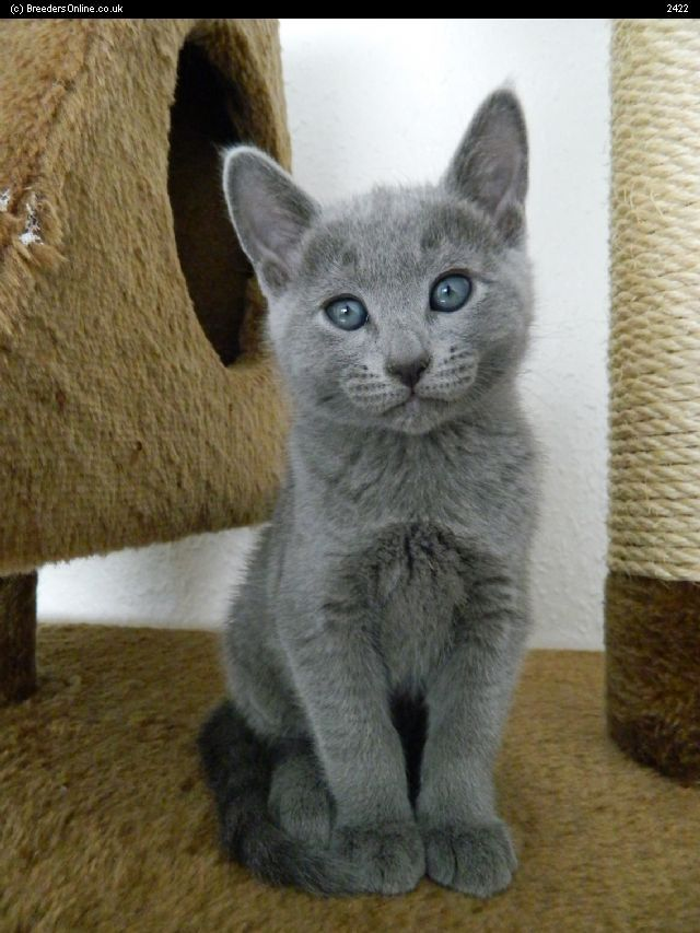 Adorable Russian Blue kitten