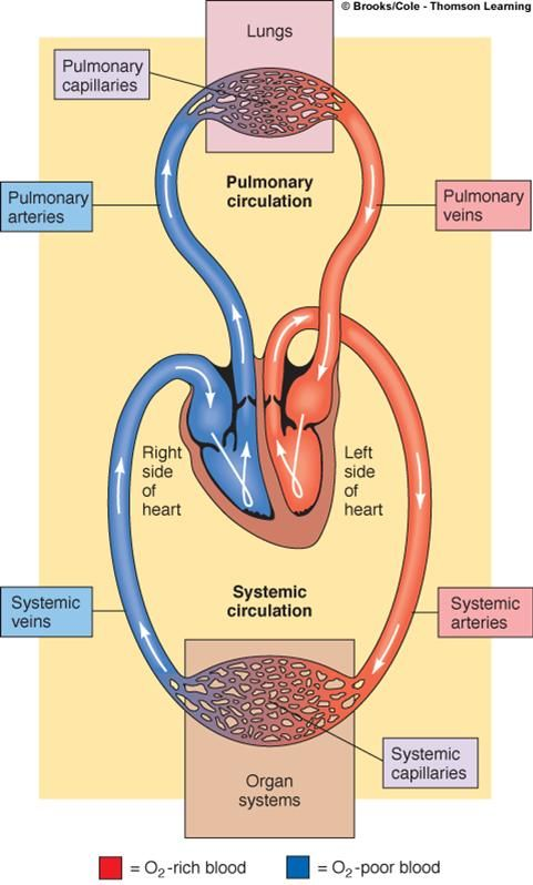 Respiratory System Worksheets - Lanternfish ESL