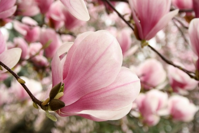 magnolia blossoms ♥ pink flowers spring blossoms