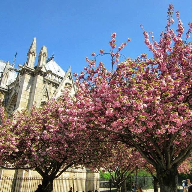 Cherry blossoms in full bloom  #notredame #springinparis  #cherryblossoms #paris #france #visitparis #instaparis #instatravel #instamoments #travel #explore #love #live #blueskies #beautiful #picturesque #pictureperfectday #melbournelifelovetravel