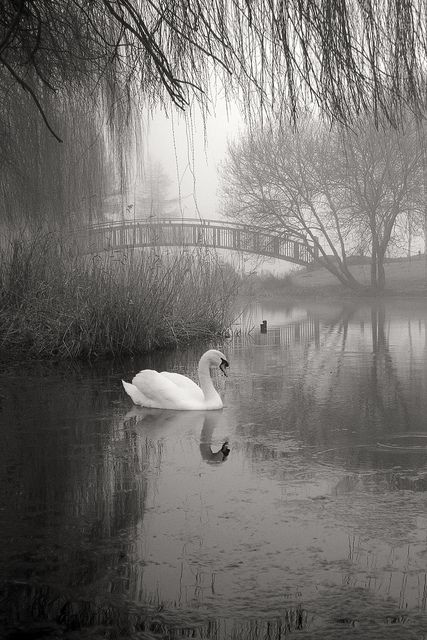 Silence Beautiful Swan
