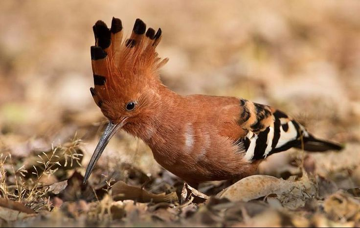 The African Hoopoe (Hoephoep) can be observed at Likweti Estate as they favour open, bushy areas. They make their homes in tree holes or other cavities. Photo by Willem Verschuur.