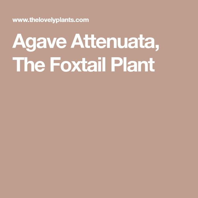 Agave Attenuata, The Foxtail Plant