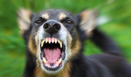 Tünetei veszettség után kutya harap