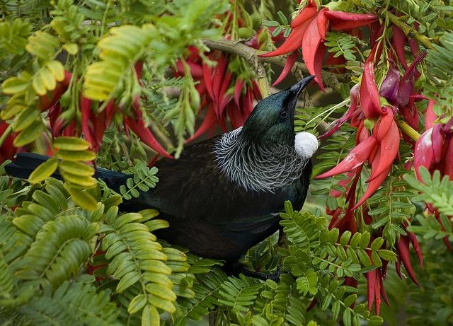 Tui in kaka beak by StickEbeak, via Flickr