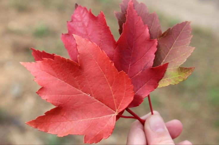 Autumn Leaves Bright VIC Australia