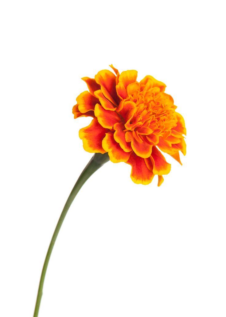 Marigold-Image.jpg (800×1120)