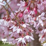 Prunus x 'Pisnshzam' Pink Snow Showers - This elegant weeping cherry features a unique single pink flower on a lovely slender standard and will develop into a stunning feature weeper.
