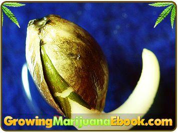 how to grow marijuana from seed