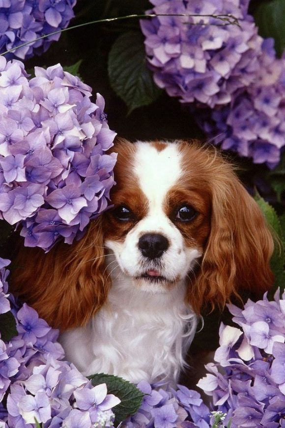 .Dog peeking out of the hydrangeas