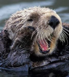 Wild for Otters: cuteoverload.com