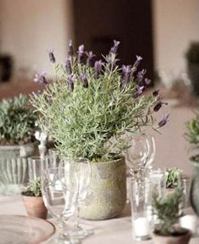 Potted lavender table centerpiece.