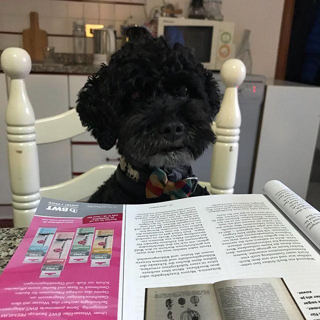 Picasso hat eine gute Lektüre gefunden.  . . . #dog #poodle #italia #dogsofinstagram #caliano #campagna #picasso #cremamagazin #crema #magazin #caffè