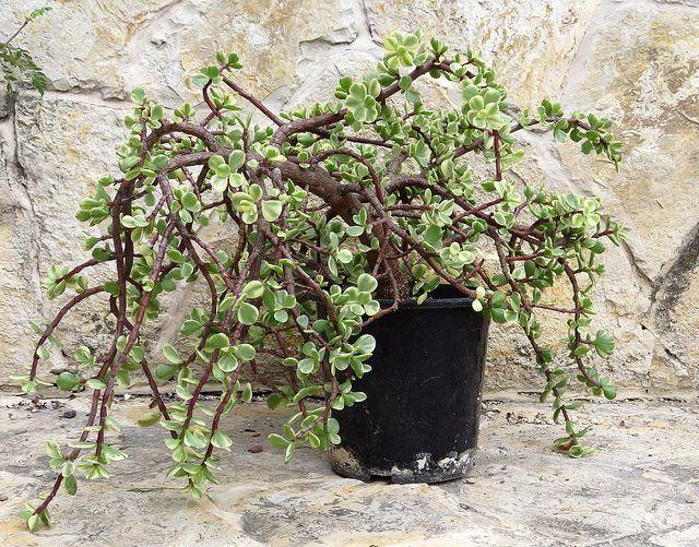Portulacaria afra f. variegata | por msek
