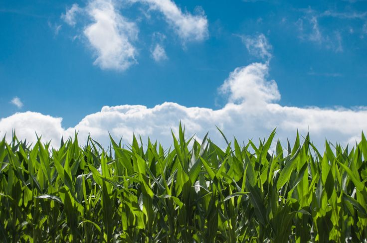 corn blue sky. Image of a field with corn, a blue sky is present in the background with a few clouds