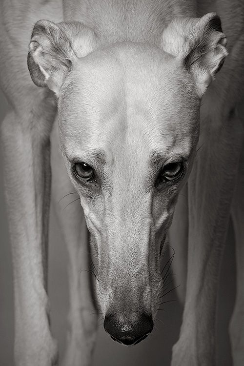 """Early retirement"", 'Gable'- Greyhound, © photograph by Piotr Organa"