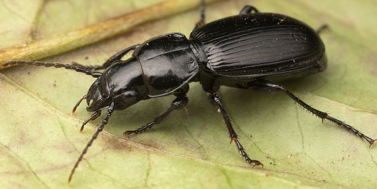 Veja como os escaravelhos podem ajudar a combater as pragas da sua horta.