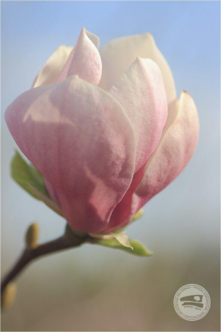 Magnolia x soulangena 'Rustica Rubra'  #KolekcjaMagnolii dr hab. Jana Toneckiego #szklarnieSGGW #budynek35 #magnolie #ogrodnictwo #WOBiAK #SGGW 🏡🌼🌼🌼 #MagnoliaCollection by Dr Jan Tonecki #WULSgreenhouse #building35 #magnolia #magnolias #horticulture #WULS