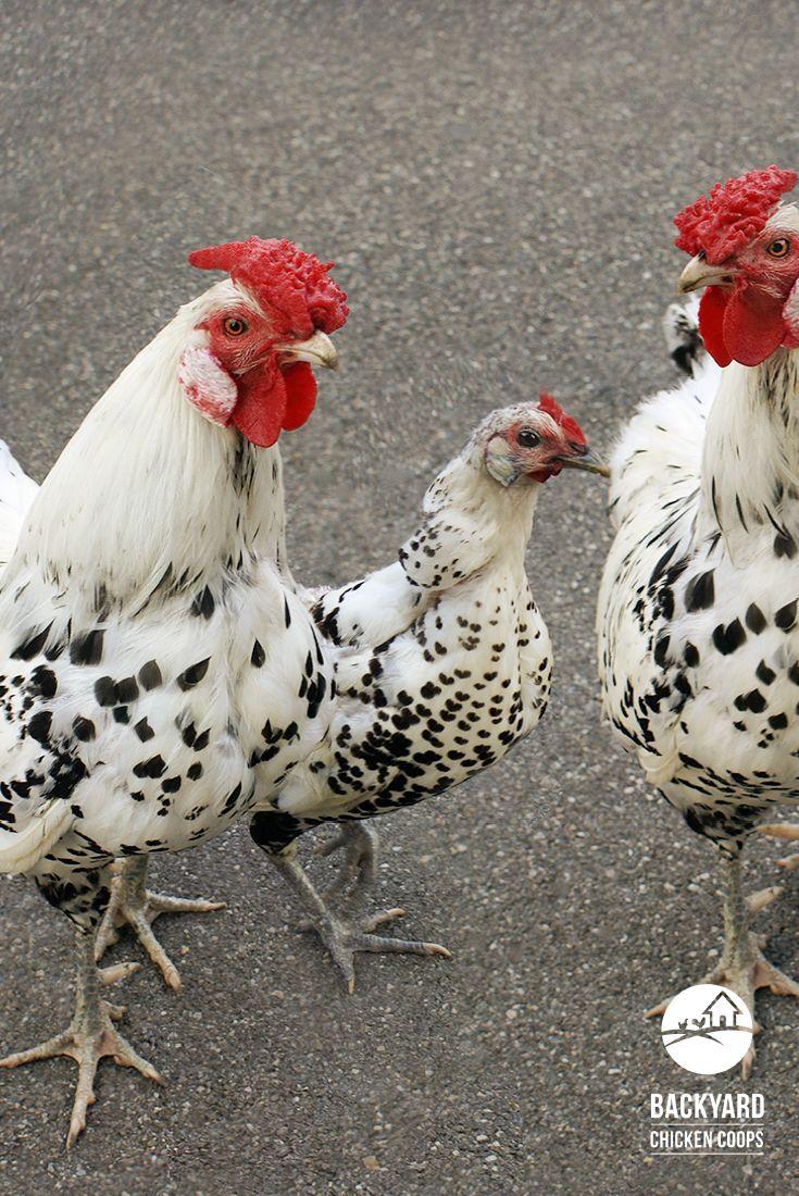 879 best chicken breeds images on pinterest chicken breeds
