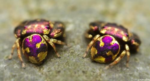 Shockingly Beautiful Purple and Gold Jumping Spider from Thailand