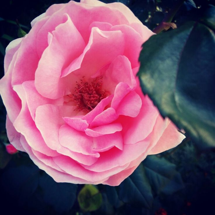 Pink rose   #pink #rose #greece #corfu #ourGarden #samsung #A5
