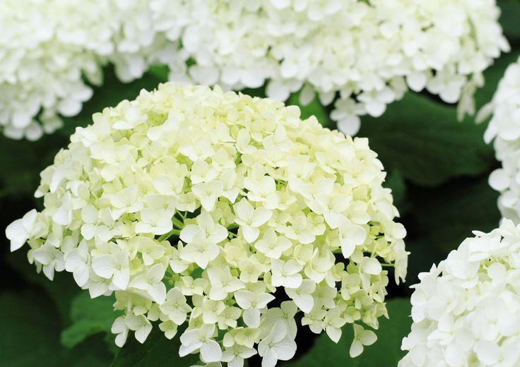 アジサイの種類の1つで、白い花を咲かせるアナベル。こんもりとした花姿が美しく、花壇にやさしい印象を加えてくれます。アジサイと同じく、手間はあまりかかりませんが、育て方には少し違いがあります。そこで今回は、挿し木や剪定、鉢植えや植え替えの時期と方法など、アナベルの育て方をご紹介します。 アナベルの育て方のポイン