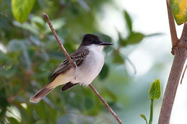 eBird Checklist – Queen Elizabeth II Botanic Park - IBA, National Trust, North Side, KY – Fri Jan 05, 2018 – 19 species