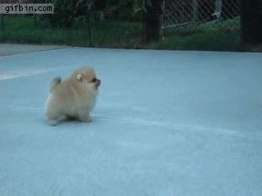 Stop it. This is the cutest thing ever... #pomeranian #puppy