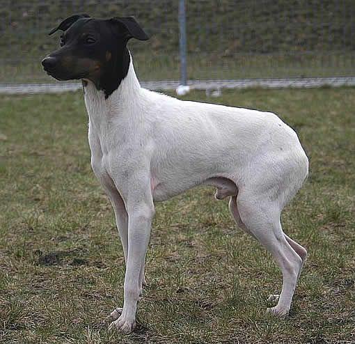 Le Nihon Teria : chien japonais - Webzine Animaux de compagnie http://www.animalcompagnie.com/le-nihon-teria-chien-japonais.html