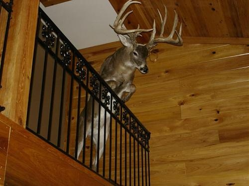 pretty cool mount... would be freaky to look up and see that!   ... just think if we'd done the cougar that way!