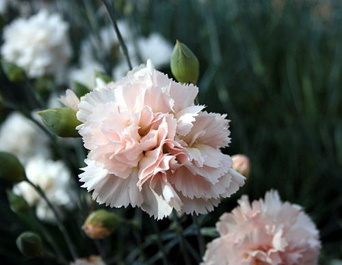 carnations-in-the-border