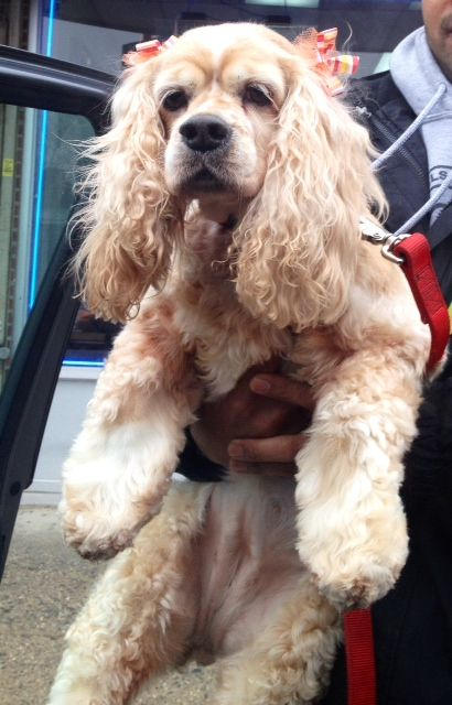 Meet Lucy in the Sky with Diamonds a Petfinder adoptable Cocker Spaniel Dog | Flushing, NY | Picture yourself in a boat on a river, with tangerine trees and marmalade skies, somebody calls...