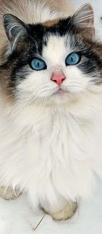 Such a stunning cat with expressive eyes that seem to want to communicate with you... This cat is adorable and so lovely...