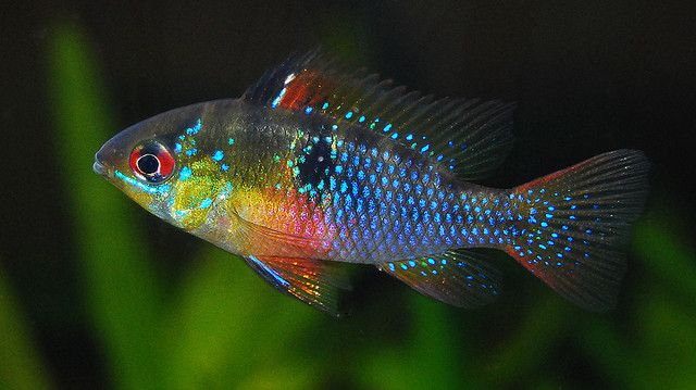 566 Best Fishes Cichlids Images On Pinterest Fish